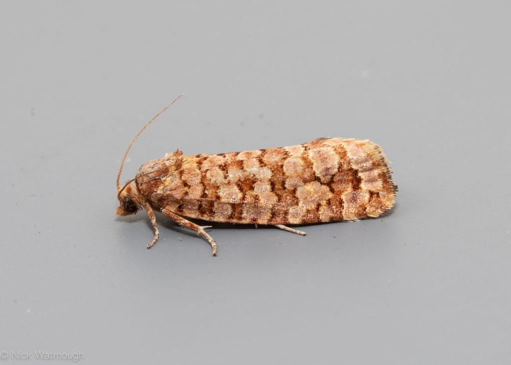 The Biggest Week for Moths, Lozotaeniodes formosana , Orange Pine Tortrix, June 28th 2019, Norfolk