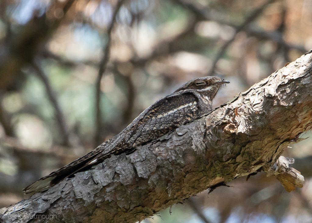 European Nightjar (Caprimulgus europaeus), Batumi, Georgia, August 2019