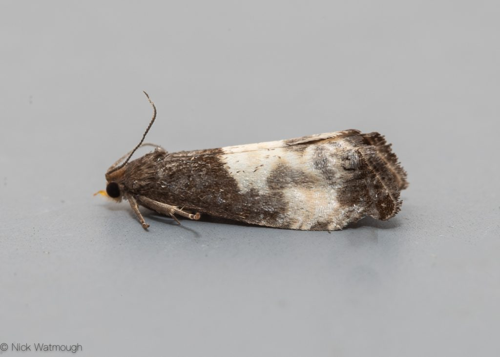 Garden moth-trap, Notocelia cynobatella, Yellow-faced Bell, May 18th 2019, Norfolk