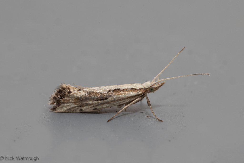 Garden Moth-trap, Plutella porrectella, Grey-streaked Diamond-back,  30th May 2019, Norfolk