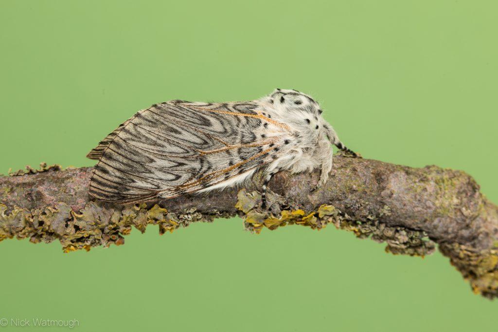 Garden Moth Trap, Puss Moth, Cerura vinula,  31st May 2019, Norwich