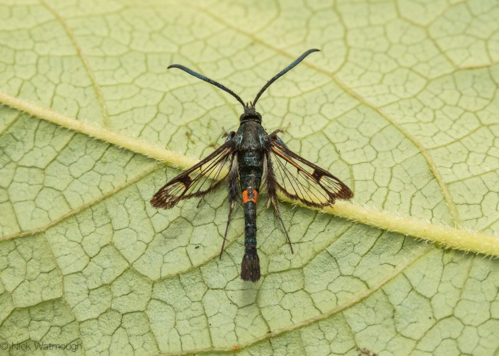 The Biggest Week for Moths, Red-belted Clearwing, Synanthedon myopaeformis, June 29th 2019, Norfolk