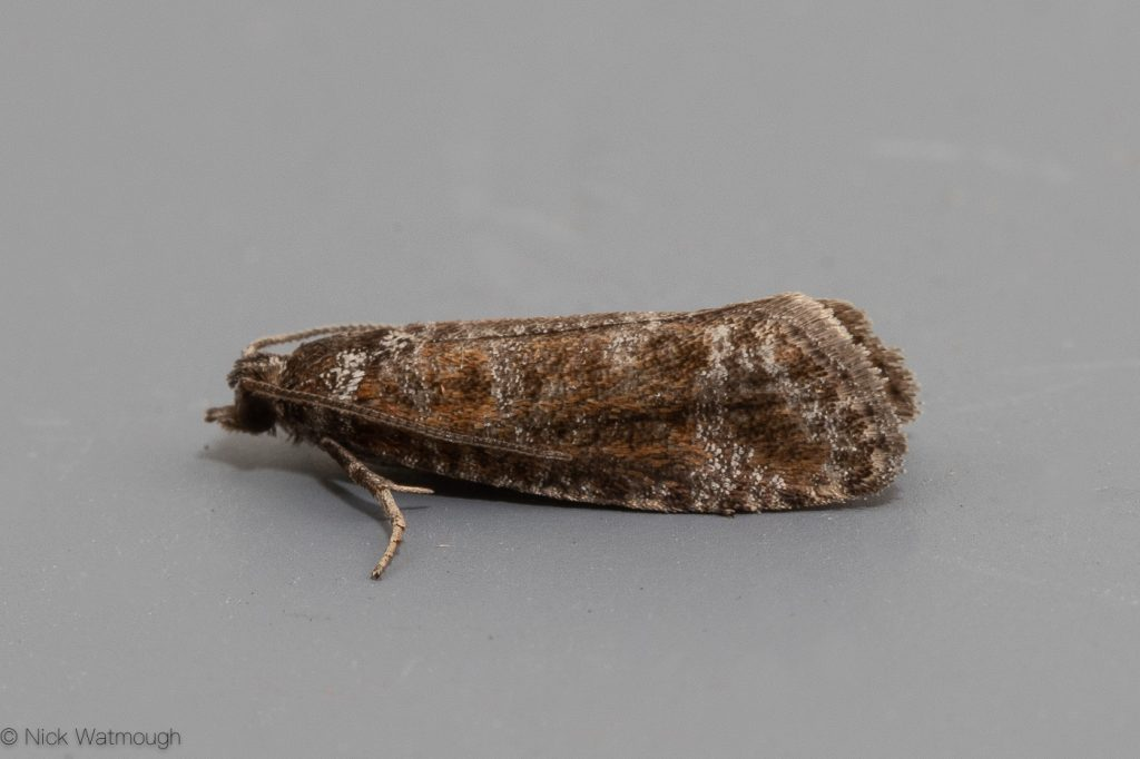 Garden Moth-trap, Rhyacionia pinivorana, Spotted Shoot, 30th May 2019, Norfolk