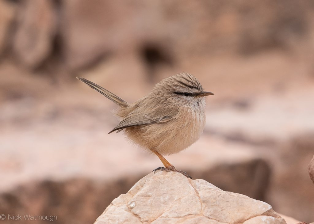 Scrub Warbler, Scotocerca inquieta, Amram's Pillars, Israel, January 2020