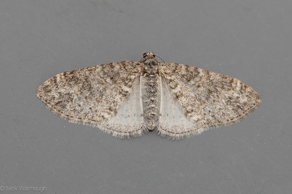 Garden moth-trap, Seraphim, Lobophora halterata, May 22nd 2019, Norfolk