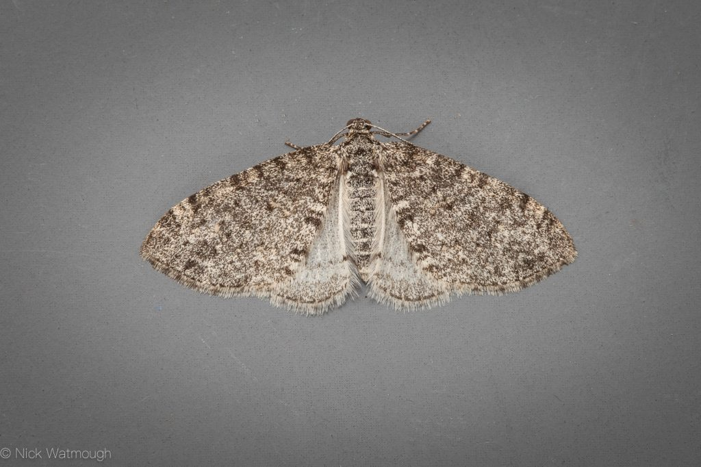Garden moth-trap, Seraphim, Lobophora halterata, May 24th 2019, Norfolk