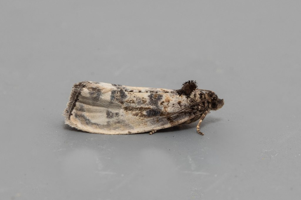 Garden Moth-trap, Hedya sp, 31st May 2019, Norfolk